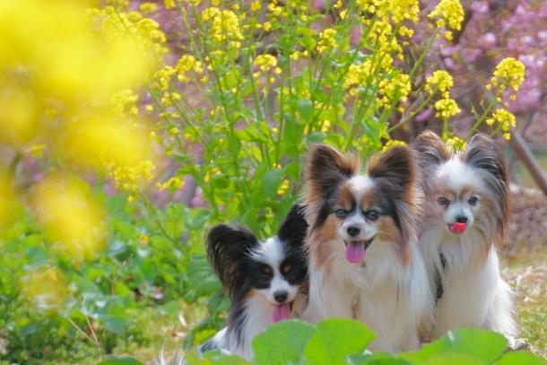早咲き桜00070637