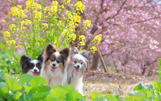 早咲き桜00070639