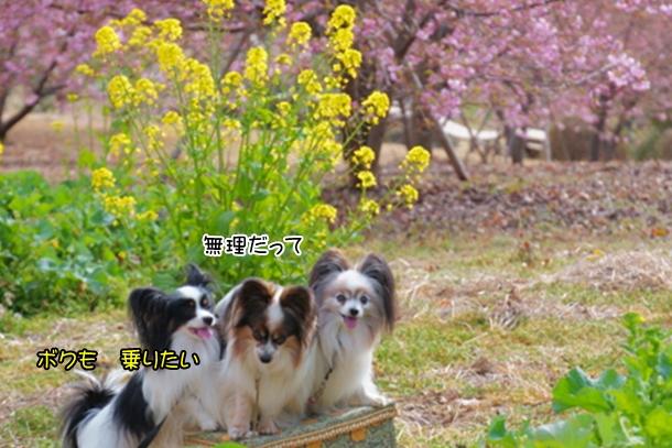 早咲き桜00070647