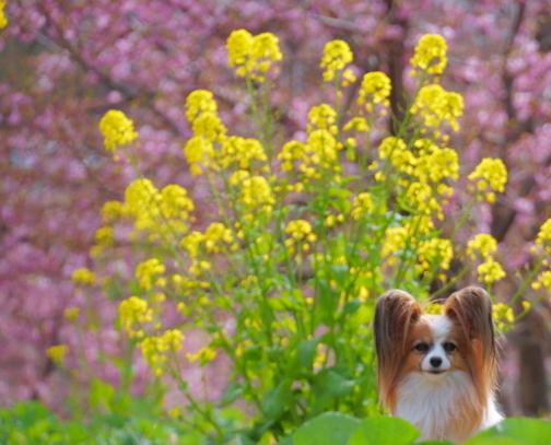 早咲き桜00070650