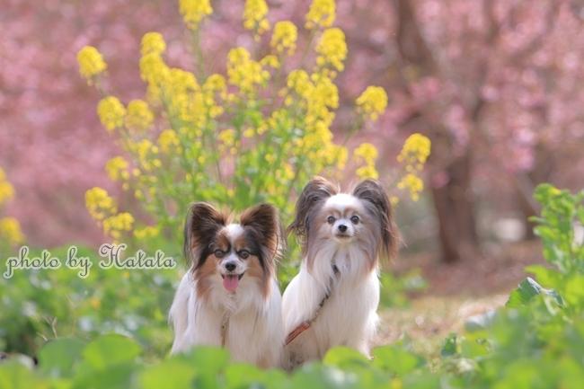 早咲き桜リリーちゃんと 一緒00070170