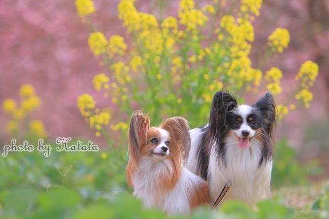 早咲き桜リリーちゃんと 一緒00070178