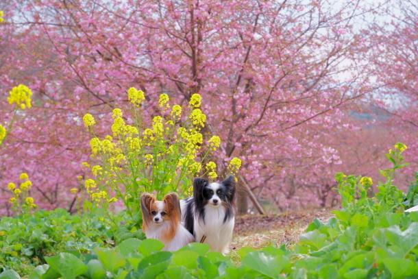 早咲き桜00070661