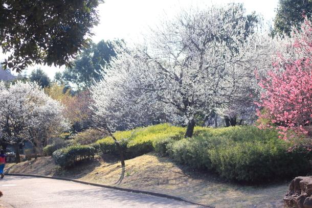ふるさと公園桜咲き始め00070923
