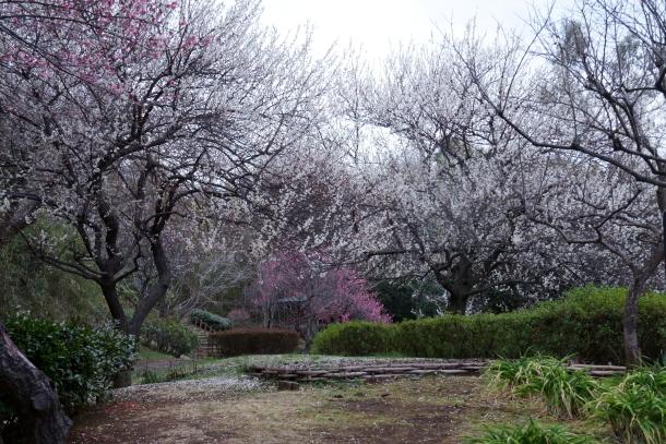 ふるさと公園の梅200071968