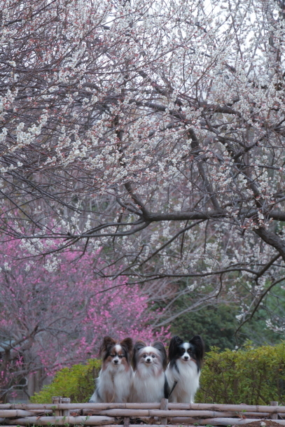 ふるさと公園の梅200071969