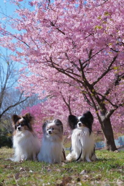 北八朔公園 桜00072289