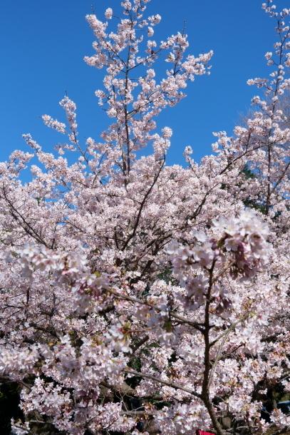 ふるさと公園玉縄桜00072335