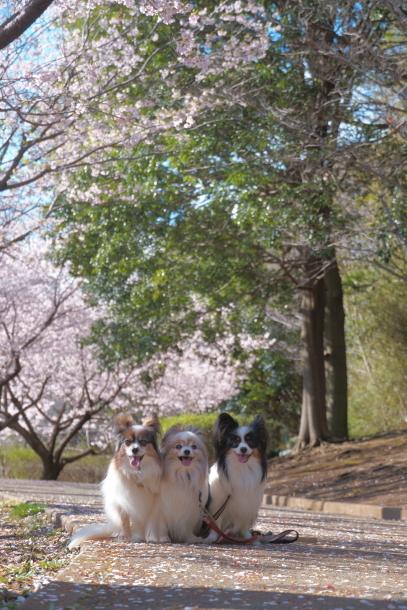 ふるさと公園玉縄桜00072333