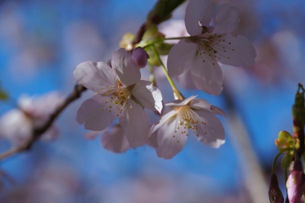 ふるさと公園玉縄桜00072338