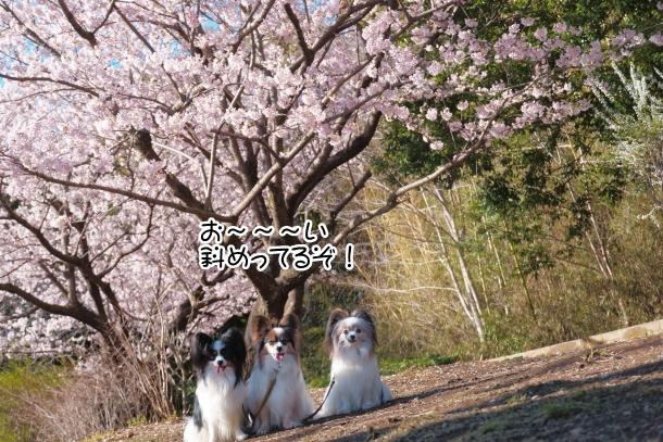ふるさと公園玉縄桜00072380
