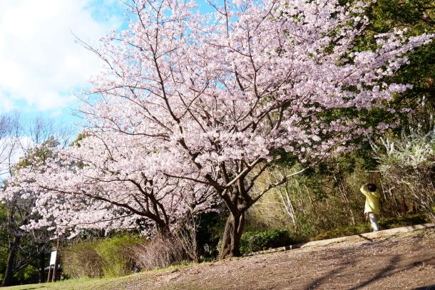 ふるさと公園玉縄桜00072376
