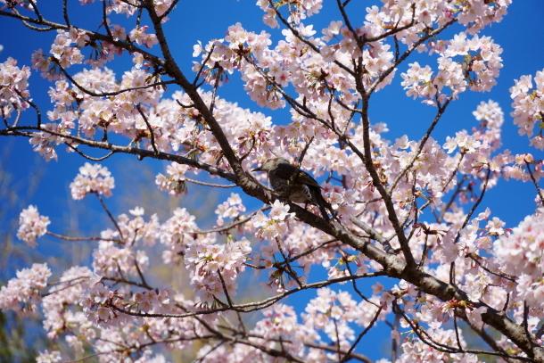 ふるさと公園玉縄桜00072374