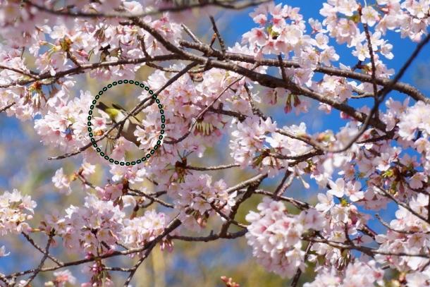 ふるさと公園玉縄桜00072367