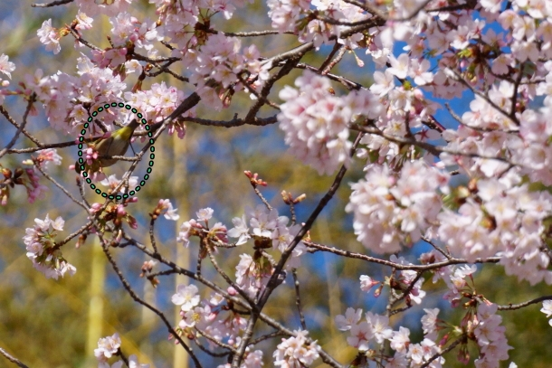 ふるさと公園玉縄桜00072368