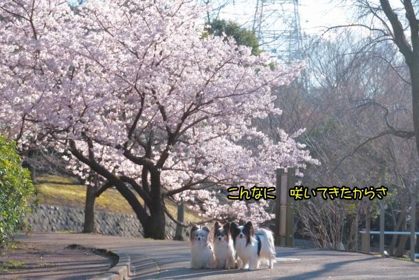 ふるさと公園玉縄桜00072363