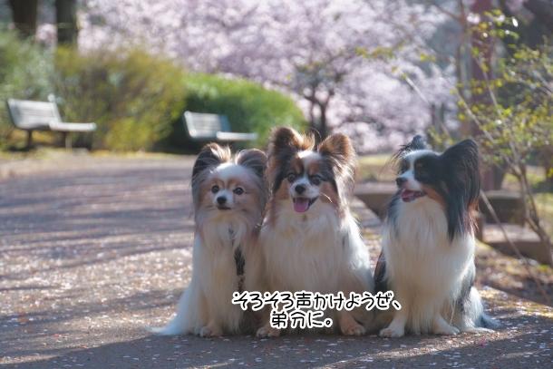 ふるさと公園玉縄桜00072361