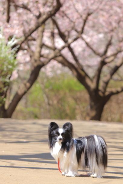 ふるさと公園玉縄桜蓮ぴょん201900072431