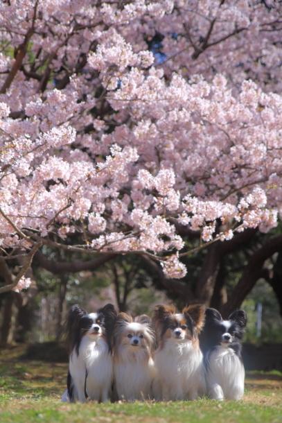 ふるさと公園玉縄桜蓮ぴょん201900072396