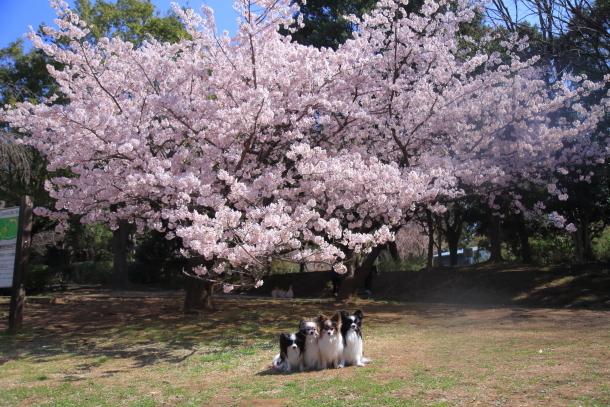 ふるさと公園玉縄桜蓮ぴょん201900072392