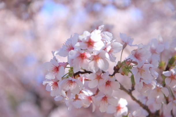 ふるさと公園玉縄桜蓮ぴょん201900072384