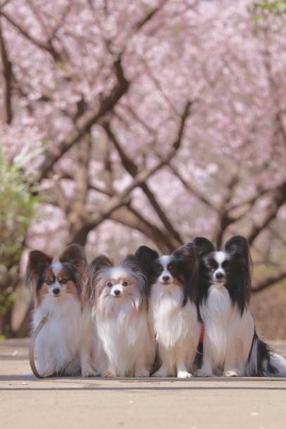 ふるさと公園玉縄桜蓮ぴょん201900072439