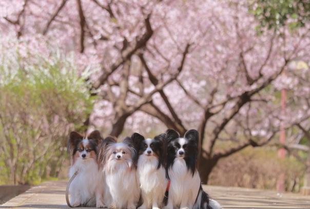 ふるさと公園玉縄桜蓮ぴょん201900072441