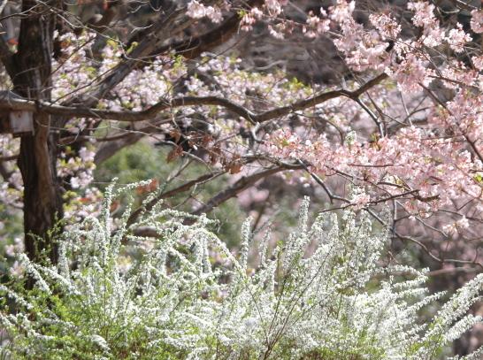 ふるさと公園玉縄桜蓮ぴょん201900072455