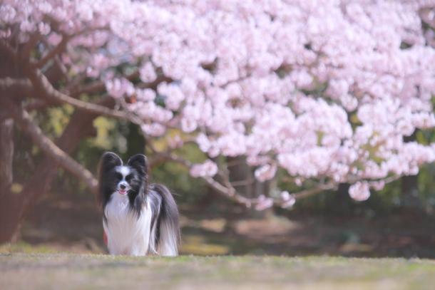 ふるさと公園玉縄桜蓮ぴょん201900072498
