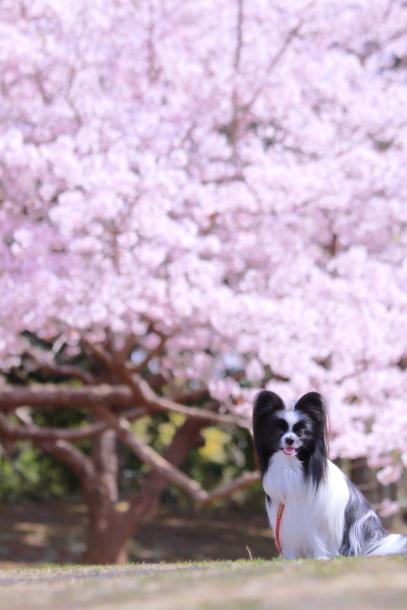ふるさと公園玉縄桜蓮ぴょん201900072505