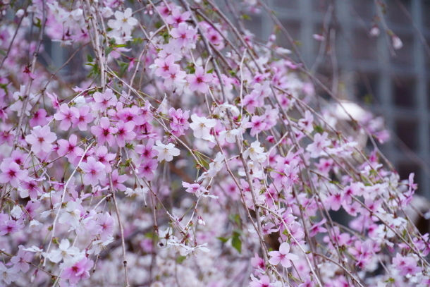 銀座の桜00072593