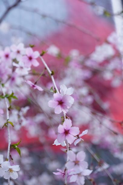 銀座の桜00072594