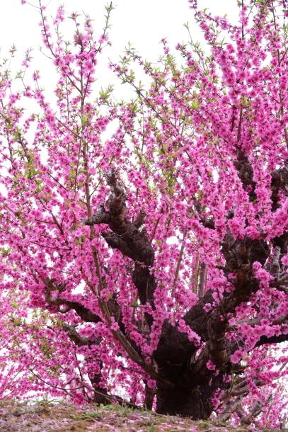 銀座の桜00072599