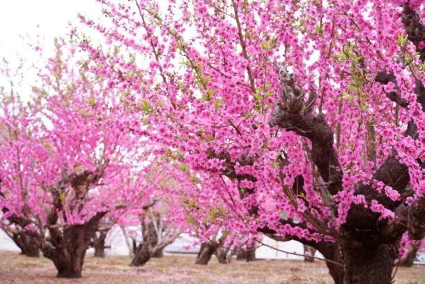 銀座の桜00072605