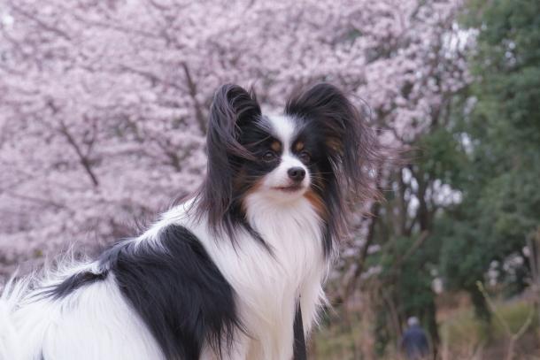 サブちゃん春散歩00074375