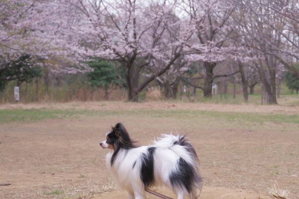 サブちゃん春散歩00074386