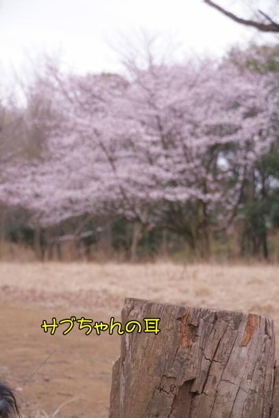 サブちゃん春散歩00074395