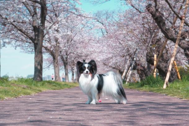 河川敷の桜201900075557