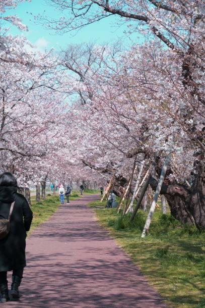 河川敷の桜201900075566