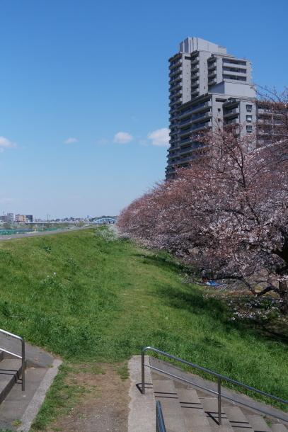 河川敷の桜201900075571