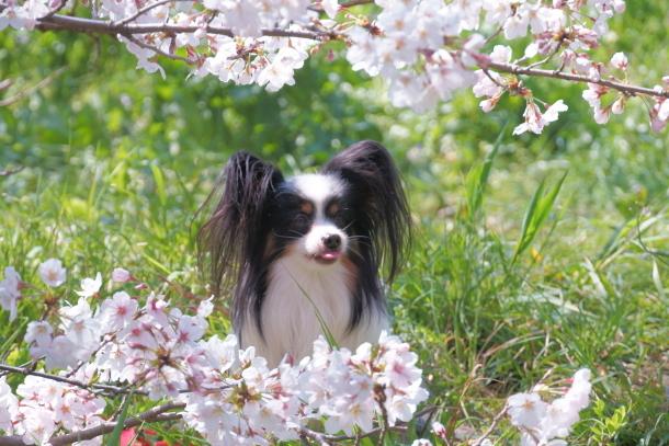 河川敷の桜201900075574