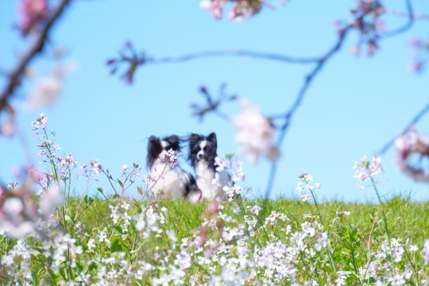 河川敷の桜201900075581