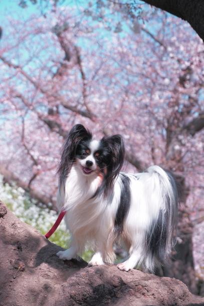 河川敷の桜201900075592