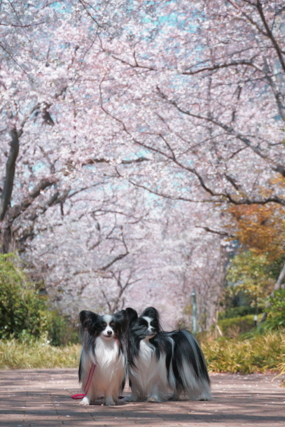 河川敷の桜201900075608