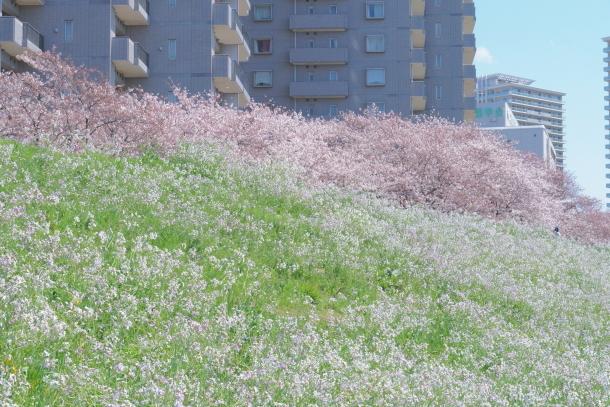 河川敷の桜201900075825