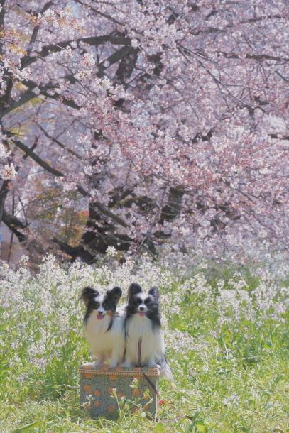 河川敷の桜201900075634