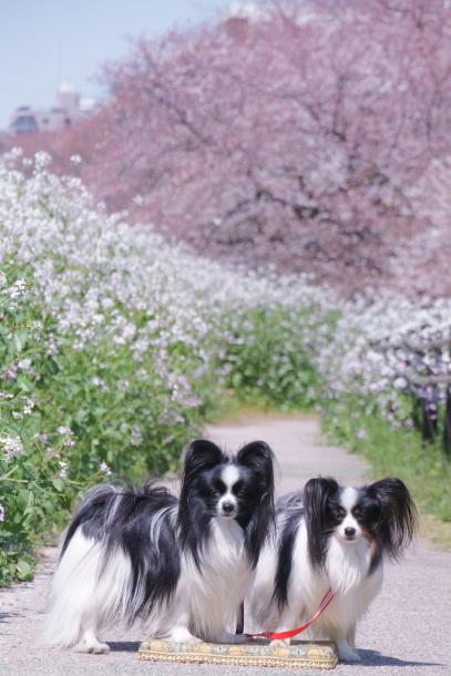 河川敷の桜201900075681
