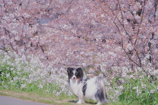 河川敷の桜201900075688