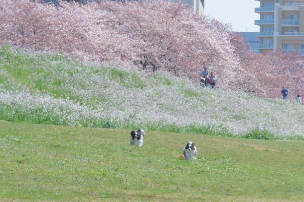 河川敷の桜201900075791