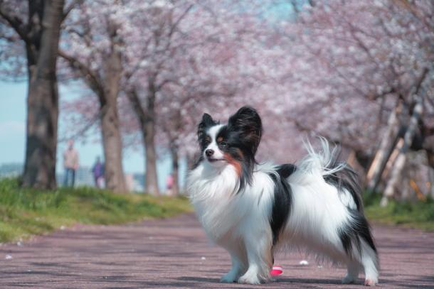 河川敷の桜201900075559